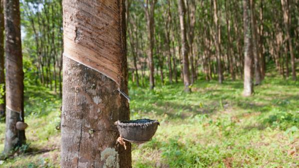 hévéa caoutchouc thailande